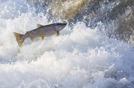 The leaping trout of Lac Leman